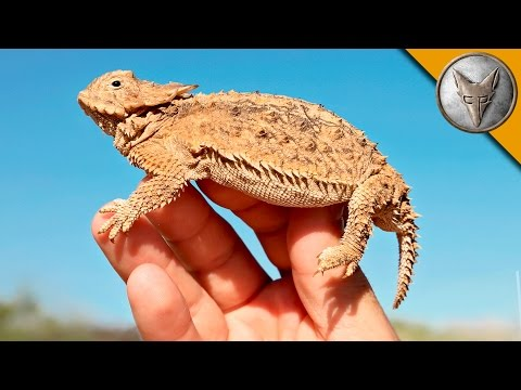 Coyote Peterson Encounters the Spiky Regal Horned Lizard That Gave Him His