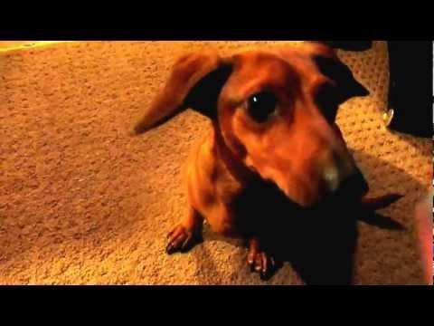 Smart Weiner Dog Doing Tricks (Best Dachshund Tricks Ever!)