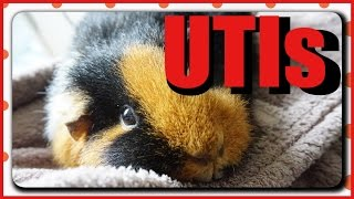 Information on the symptoms, diagnosis and treatment of urinary tract infections (UTIs) in guinea pigs. Twiglet has recently been to the vet for treatment for a suspected UTI after her pee was bright red - the prescribed drugs were Metacam and Septrin. Twiggie seems to be doing well, please send healing vibes to my girl! Also please thumbs up if you found this video useful, it will help more people see it. Thank you for watching! More information:Guinea Lynx: http://www.guinealynx.info/uti.htmlBlog with idea of treatment cost: http://www.happycavy.com/guinea-pig-uti/Also some prevention measures! http://www.thepiggyhub.com/guide/uti%3A+urinary+tract+infection/70