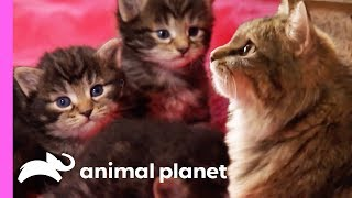 Tiniest Kitten Boris Won't Let His Size Hold Him Back! | Too Cute! by Animal Planet