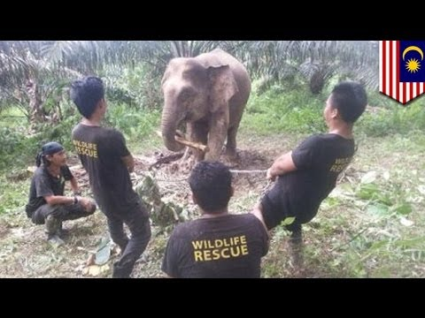 Video Elephant attack: 30 wild elephants ravage crops in Malaysia download in MP3, 3GP, MP4, WEBM, AVI, FLV January 2017