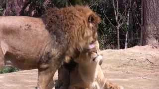 Lion VS Tiger fight !! full download video download mp3 download music download
