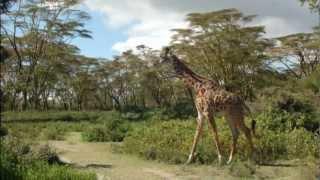 Naivasha Kenya  city photo : Walking With Giraffes at Lake Naivasha, Kenya - a Singles in Paradise Adventure