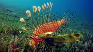 Red Sea Lion Fish\Egypt\Diving\Dahab