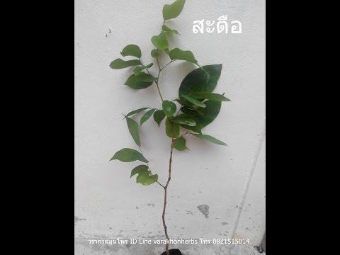 ต้นสะตือ วรากรสมุนไพร โทร 0821515014, ID line varakhonherbs