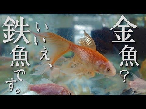 金魚? いいえ、鉄魚です。