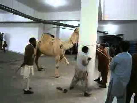 camel qurbani - The Camel Qurbani at Al-Huda Complex H-11 Islamabad on Eid Ul Azha Nov 2011.