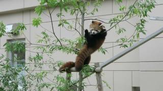 Fukuchiyama Japan  city images : #7 Oct 2016 Red Panda at Fukuchiyama zoo, Kyoto, Japan