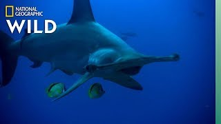 The Hammerhead Shark is Uniquely Adapted For Ocean Life   Nat Geo Wild by Nat Geo WILD