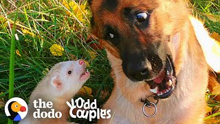 Watch This Dog And Ferret Become Best Friends | The Dodo Odd Couples by The Dodo