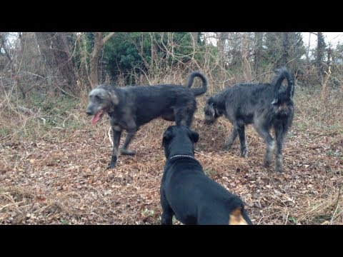 Video Rottweiler Dog Park (part two) download in MP3, 3GP, MP4, WEBM, AVI, FLV January 2017