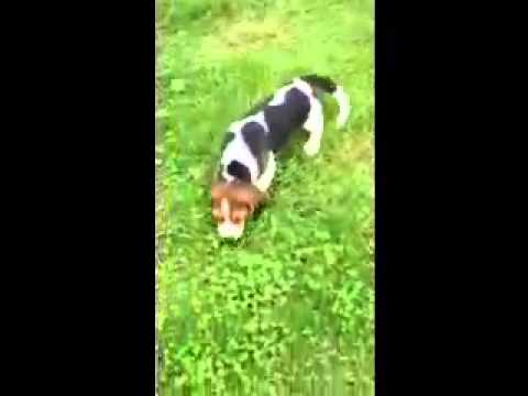 AKC Registered Male Beagle Puppy  Pennsylvania