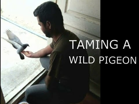 How to tame a wild Pigeon