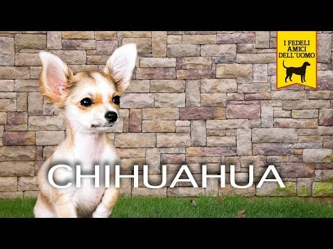 CHIHUAHUA trailer documentario (razza canina)