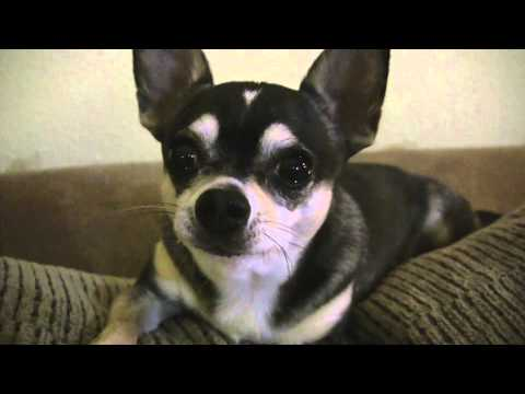 Talking Dog says I Love You, Smartest Talking Chihuahua, Hilarious Dog Video, funny chihuahua