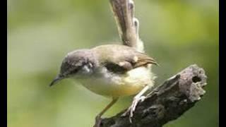 Download Video Suara Burung Ciblek Betina Memanggil Pejantan Untuk Pikat Dan Pancingan Ciblek Jantan Jemblek Betina MP3 3GP MP4