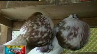 Video BP: Mahigit 100 iba't ibang klase ng kalapati, inaalagaan ng isang pigeon collector sa Pangasinan download in MP3, 3GP, MP4, WEBM, AVI, FLV January 2017