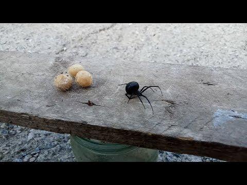 Опасные пауки в Запорожье
