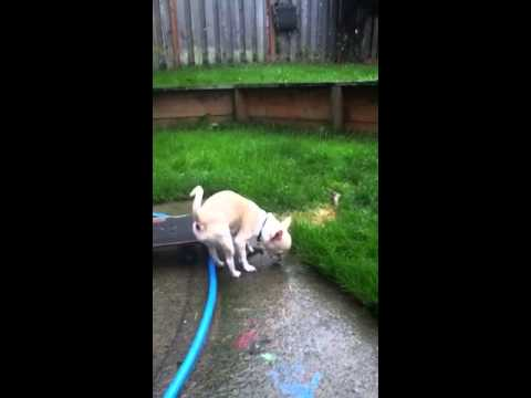 Chihuahua dog pees funny
