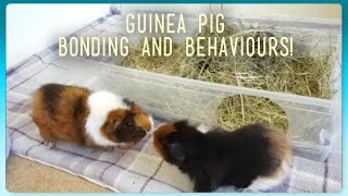 """Guinea pigs are best kept in pairs or small groups. This means people usually end up having to introduce and integrate new guinea pigs into an existing herd. This video covers the basics of introducing guinea pigs, plus what behaviours are okay and which ones are not so okay! With examples, as I introduce Willow and Lyra to Twiglet.Before adopting one or more new guinea pigs to join a single piggie or herd:Be 100% confident of the sex. Keep to same sex groups or guinea pigs which have been spayed/neutered.Quarantine new guinea pigs to eliminate the risk of spreading parasites or illnesses (unless from a rescue or responsible trusted breeder). For example, guinea pigs bought from pet shops are highly likely to have mites, and treated multiple piggies can be expensive!If increasing numbers, extend the cage size to provide enough room for the herd. When introducing/bonding guinea pigs:Set up a large pen on neutral territory with hay, open style beds/houses and veggies. Make sure there is no chance of a submissive piggie being trapped by a more dominant one (no hidey houses with just one small entrance/exit). Supervise them  closely for the next few hours.You can also bath the guinea pigs beforehand or try to rub their scent on each other.Familiarise yourselves with dominance behaviours and which ones should concern you. In general, rumble strutting, quiet teeth chattering (not prolonged or too loud), head raising, sniffing, nipping (quick and not causing any injury) and ignoring each other are normal. Watch carefully if you see any loud and prolonged teeth chattering, yawning, """"huffing"""", wide open mouths (i.e getting ready to lunge), lunging, fighting. You may see these behaviours from the guinea pig that wants to be dominant, the other guinea pig/s should back down (run away). If they don't - fighting could be imminent! If they begin to fight throw a towel over them to break the fight up. Check for any injuries straight away.Dominance behaviours, even if they don't le"""