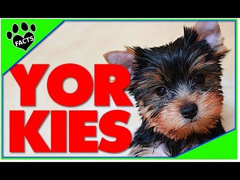 Dogs 101: Yorkshire Terrier Best Toy Breed Ever Facts - Animal Facts