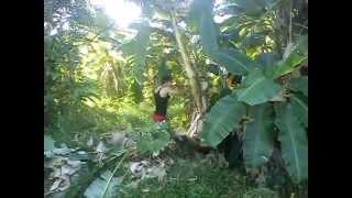 geng pokok pisang