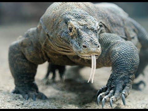 Игрушки для детей. Животные | Крокодилы | Комодский варан | Мир животных Хищники