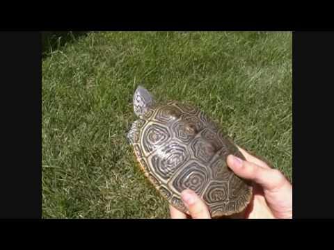Anteprima Video Come verificare che la tartaruga è incinta