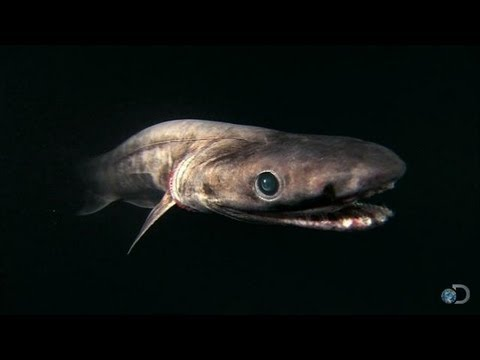 il preistorico squalo frangiato - davvero terrificante!