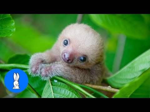 Baby Sloths Being Sloths - FUNNIEST Compilation
