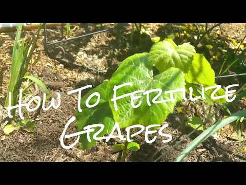 How to Fertilize Grapes For Great Production! Fertilizing Our Organic Grape House