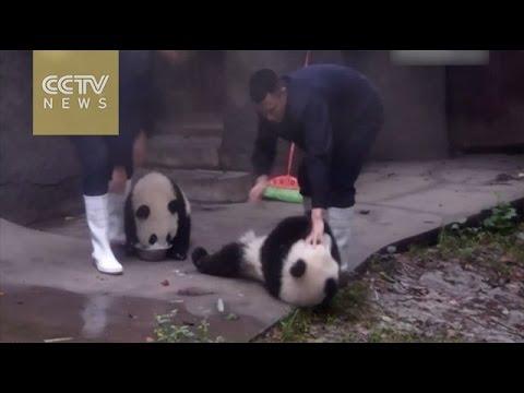 YouTube: panda glotón intenta robar la comida de su compañero