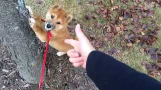 3 Month Old Shiba Inu Spreading His Paws