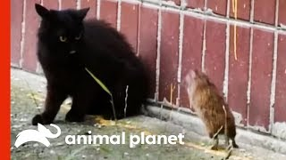 The Ultimate Unexpected Rat vs. Cat Face-off! | Weird, True & Freaky by Animal Planet