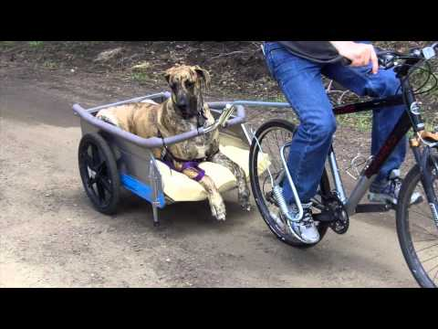 Great Dane Runs Alongside His Owners Bike. What Happens Next? This Is Too Funny
