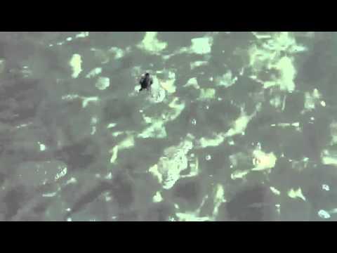 Baby Hawksbill Turtle at Saadiyat island