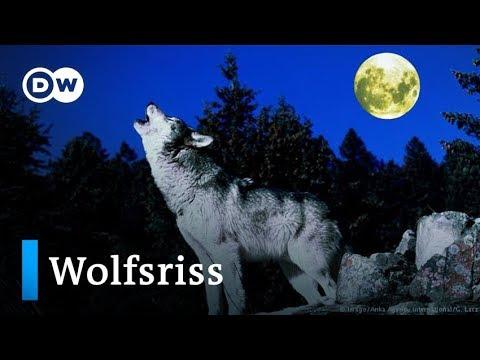 Deutschland: Weniger Schutz für den Wolf?   DW Nachrichten