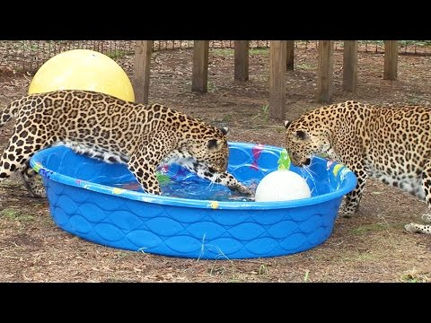 Do Big Cats Like Water%3F