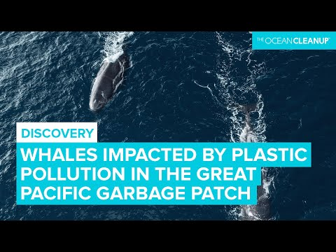 Whales likely impacted by the Great Pacific Garbage Patch