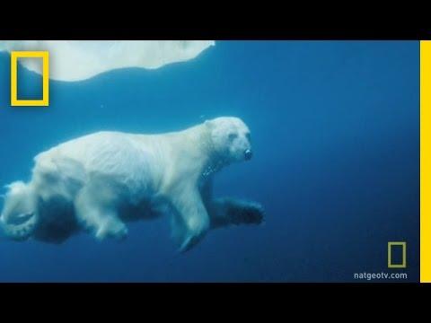 Los osos polares también bucean