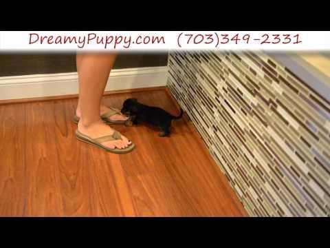 Super Cute Toy Dachshund Male Puppy 2