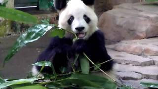 Panda Ming Ming eating some tasty bamboo