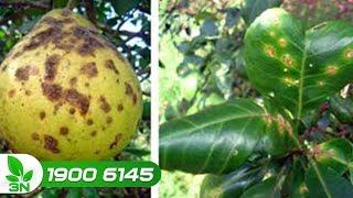 Trồng trọt | Trị bệnh loét cho cây bưởi bằng cách nào hiệu quả nhất?