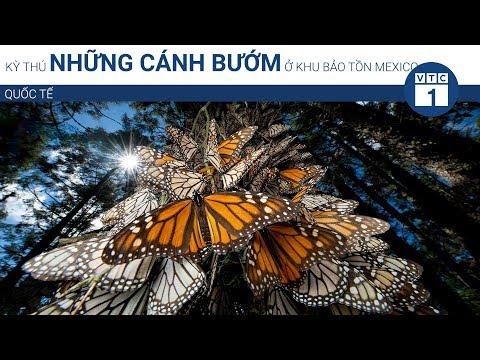 Kỳ thú những cánh bướm ở khu bảo tồn Mexico | VTC1 - Thời lượng: 82 giây.