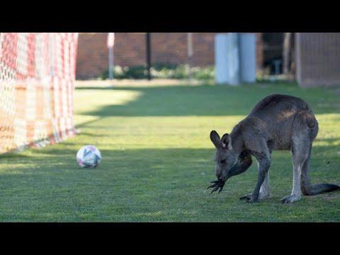Känguru unterbricht in Canberra Fußballspiel