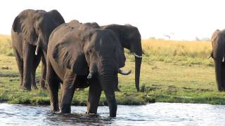 An amazing collection of elephants along the banks of the Chobe River in Botswana