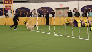 Niamh of Cnoc  - Jumpers with Weaves Course 2019 Masters Agility Championship