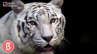 Video Penguasa Hutan! Inilah 6 Jenis Harimau Di Dunia MP3, 3GP, MP4, WEBM, AVI, FLV Mei 2019