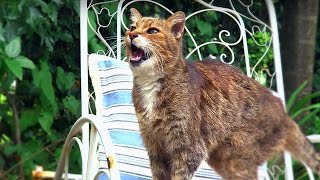 Video Why Do Cats Miaow? - Cats Uncovered - BBC MP3, 3GP, MP4, WEBM, AVI, FLV Januari 2018