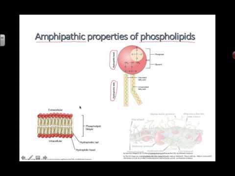 Amphipathic Properties of Phospholipids (2016) IB Biology